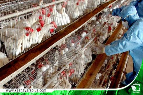 تلفات مرغداران مرغ تخمگذار خراسان رضوی در اثر قطع برق واحد مرغ تخمگذار