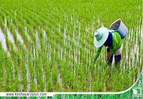 خشکسالی در مزارع گیلان