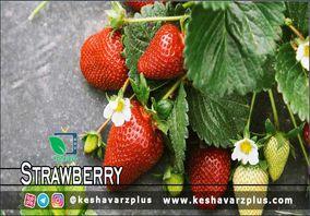 آموزش کاشت توت فرنگی در منزل به روشی ساده(دوبله اختصاصی)