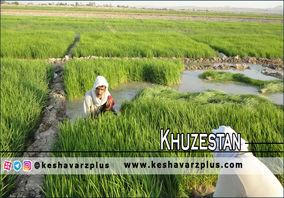 برنج خوزستانیها روی زمین ماند/ محاسبات غلط جهادکشاورزی