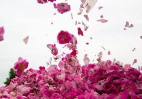 برداشت گل محمدی در ساوجبلاغ